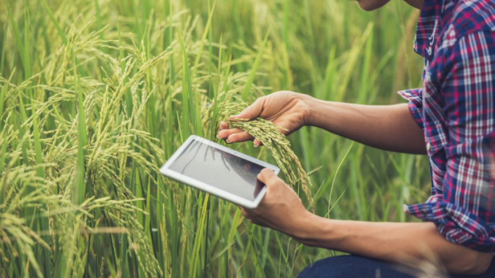 farmer-standing-rice-field-with-tablet_1150-6062